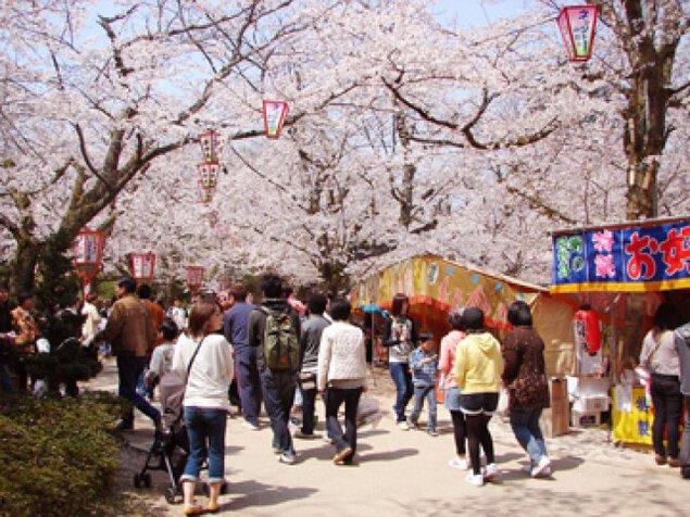 【桜・見ごろ】打吹公園