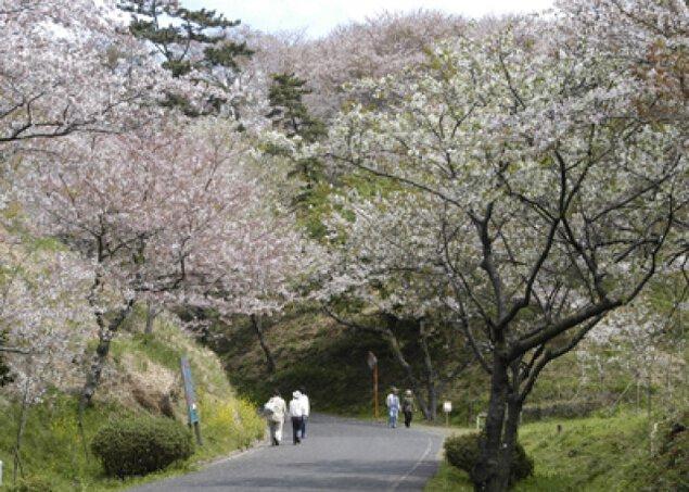 【桜・見ごろ】竜王山公園
