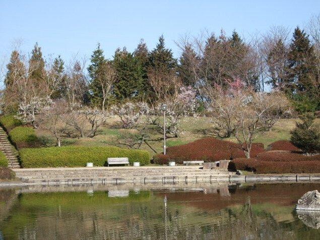 【花・見ごろ】びわこ文化公園の梅