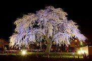 【桜・見ごろ】法亀寺しだれ桜