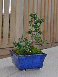 盆栽づくり(紅したん)(夏休みワークショップ26・27)