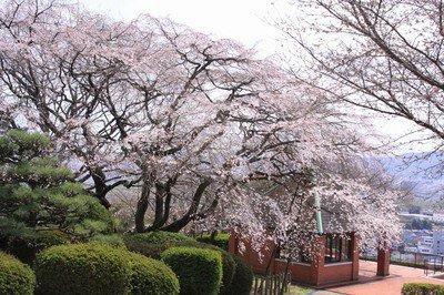岡山市半田山植物園の桜
