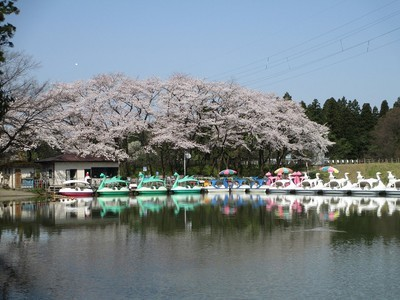 太閤山ランドの桜