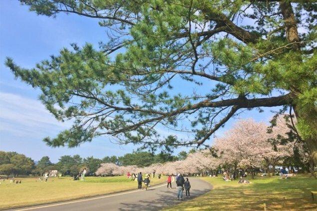 【桜・見ごろ】鹿児島県立吉野公園
