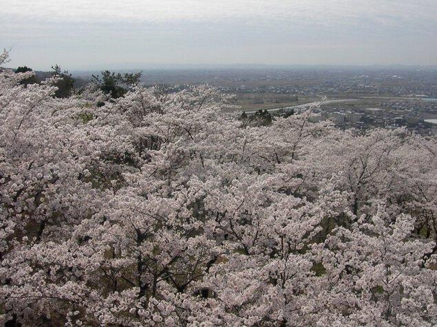【桜・見ごろ】大崎山公園