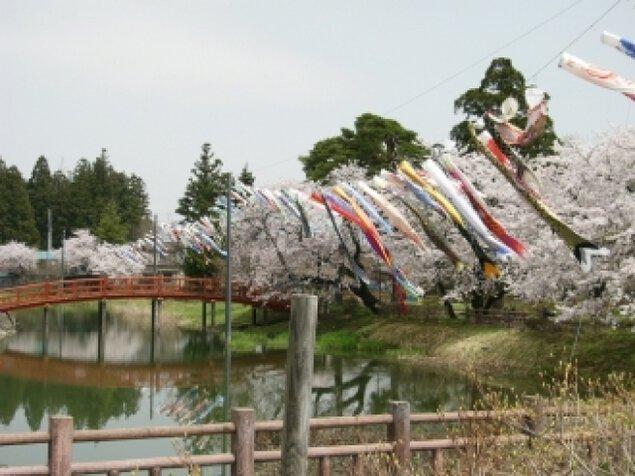 【桜・見ごろ】梨木公園