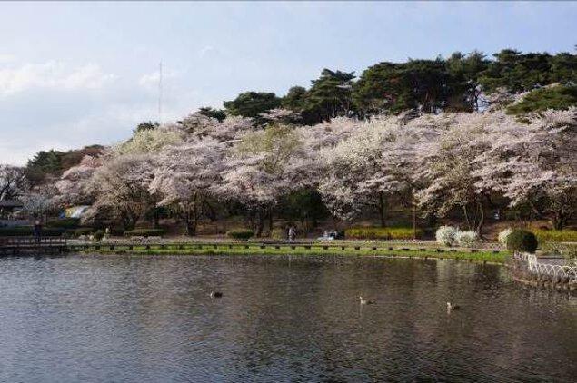 【桜・見ごろ】烏ヶ森公園