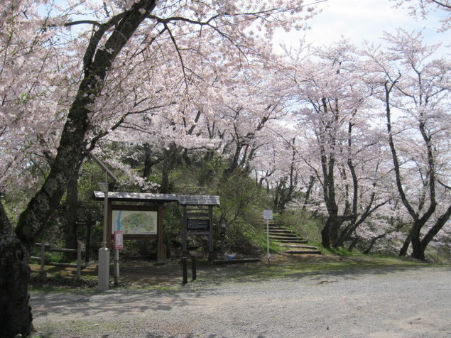 【桜・見ごろ】八乙女公園