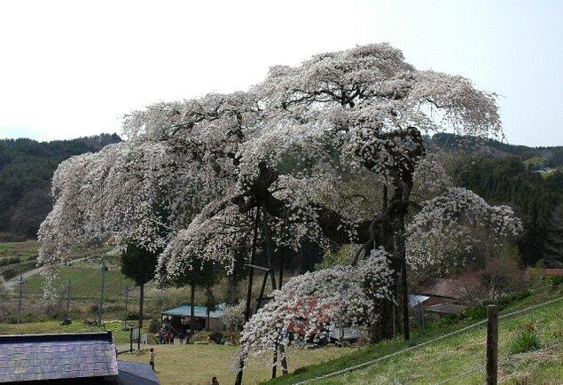 【桜・見ごろ】外大野のしだれ桜