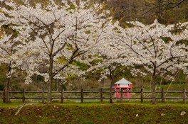 【桜・見ごろ】上磯ダム公園