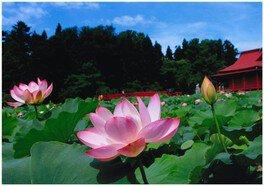 平川市 蓮の花まつり