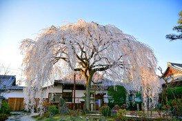 日蓮宗本山 本満寺のしだれ桜