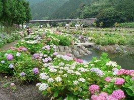 【あじさい・見ごろ】あじさいロード&下長瀬アジサイ公園