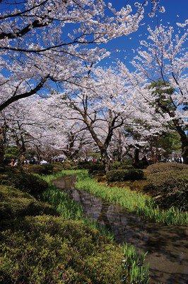特別名勝兼六園の桜