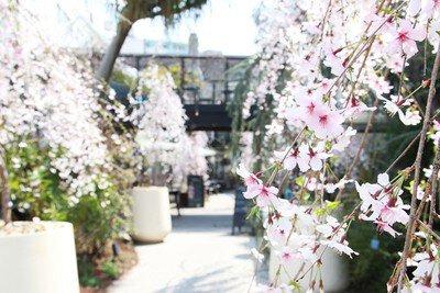 代々木VILLAGEの桜