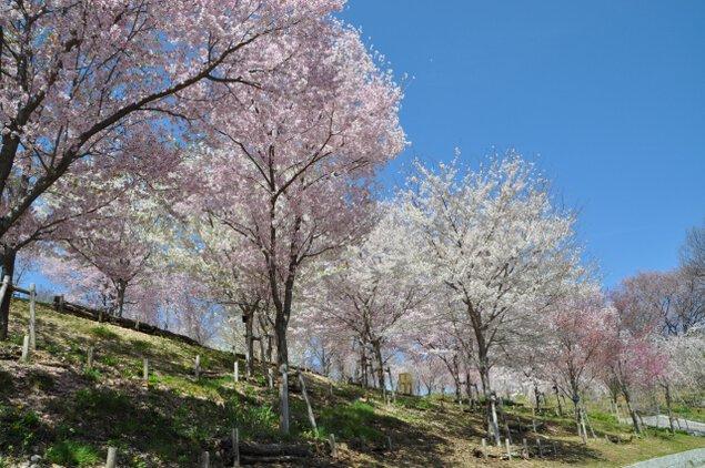 【桜・見ごろ】東山動植物園 桜の回廊フェスティバル