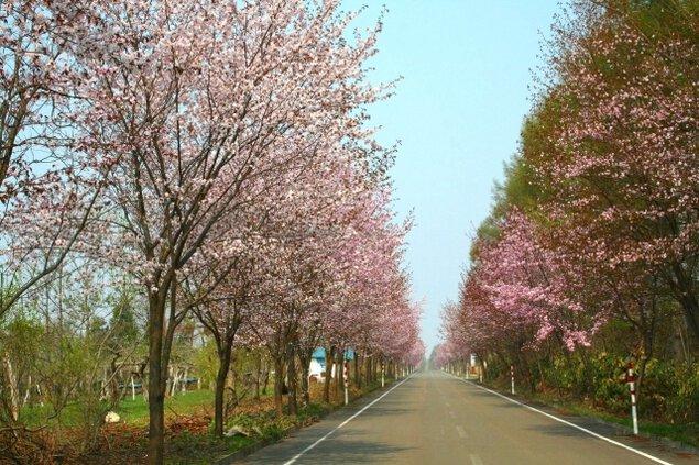 【桜・見ごろ】世界一長い桜並木