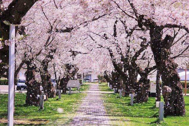 【桜・見ごろ】ニプロハチ公ドーム周辺
