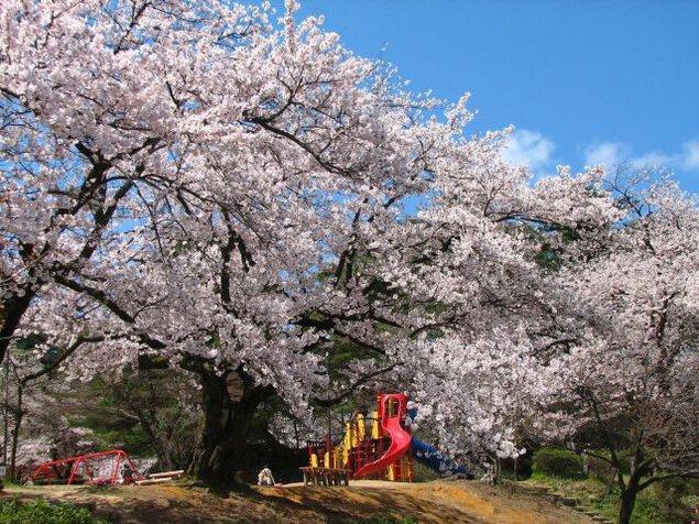 【桜・見ごろ】村松公園
