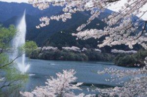 【桜・見ごろ】君ヶ野ダム公園