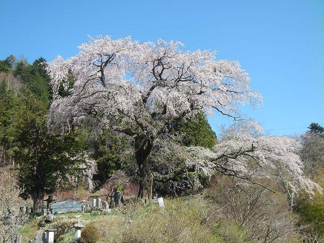 黒船桜の桜
