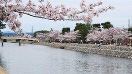 宇治橋上流の桜