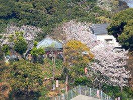 慈眼院の桜