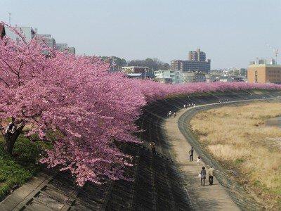 乙川の葵桜