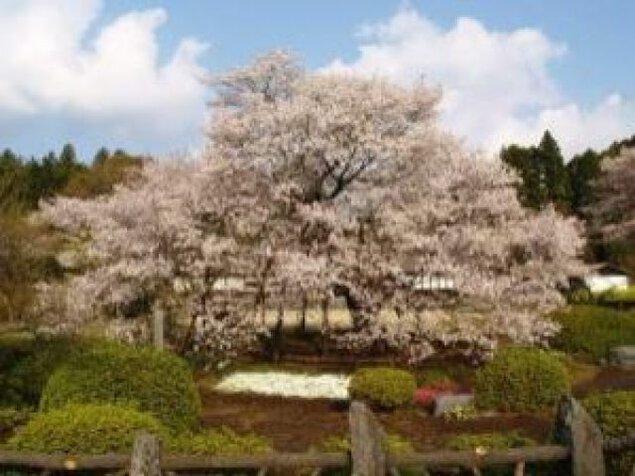 【桜・見ごろ】狩宿の下馬桜