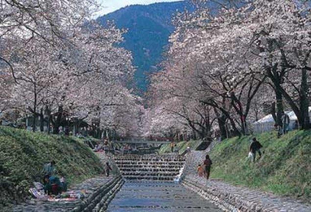 【桜・見ごろ】朝鳥公園