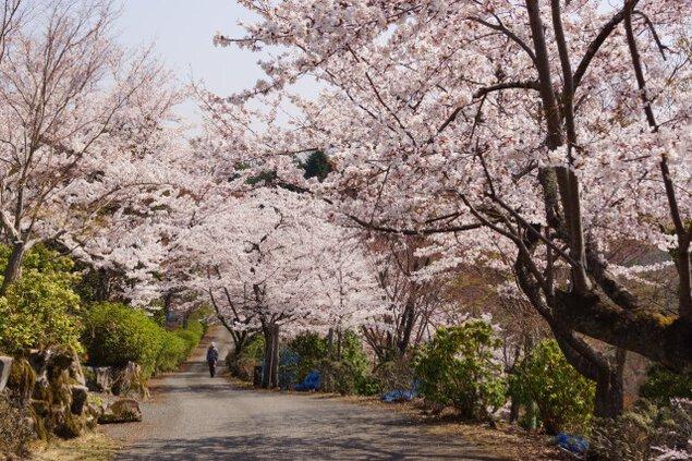 【桜・見ごろ】神の倉公園