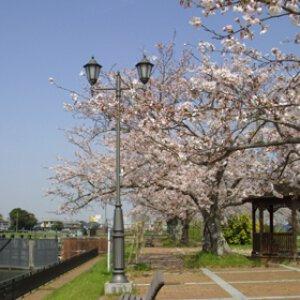 【桜・見ごろ】横利根閘門ふれあい公園