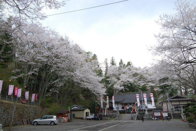 【桜・見ごろ】鍋倉公園