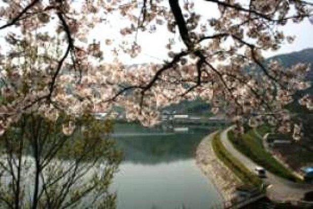 【桜・見ごろ】大谷池遊歩道