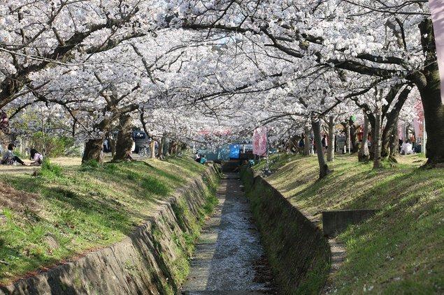 星田妙見宮(妙見河原)の桜