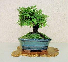 盆栽づくり(にれけやき)(夏休みワークショップ28・29)