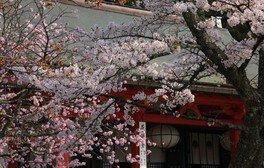 【拝観休止】鞍馬寺の桜
