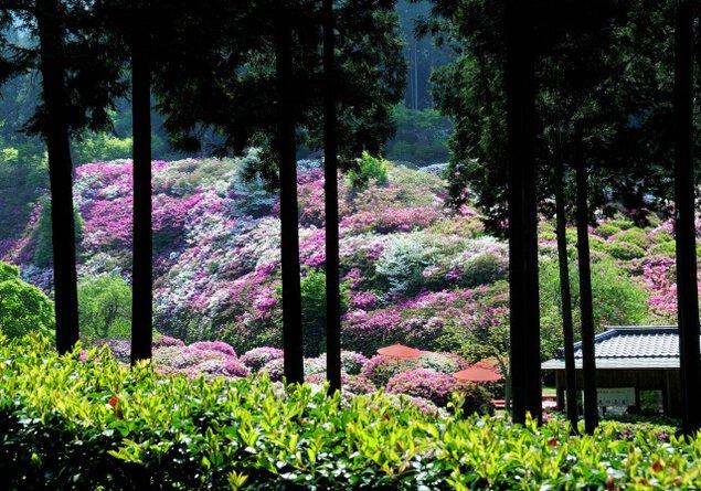 三室戸寺 つつじ・しゃくなげ園の開園