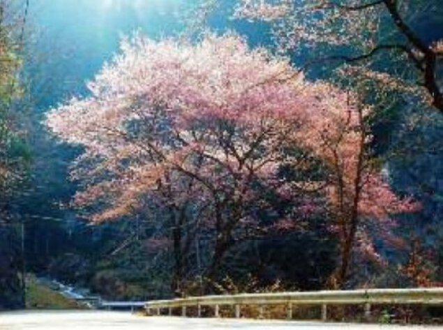 【桜・見ごろ】みどり湖(新豊根ダム)