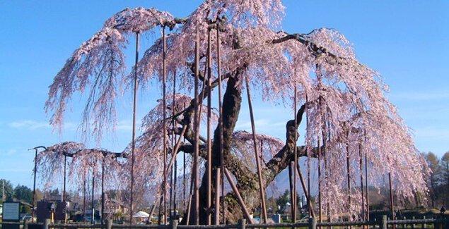 【桜・見ごろ】神田の大イトザクラ