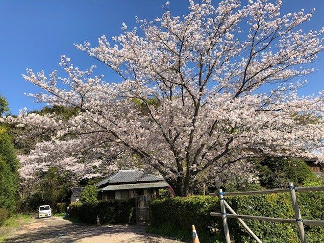 【桜・見ごろ】みその公園「横溝屋敷」