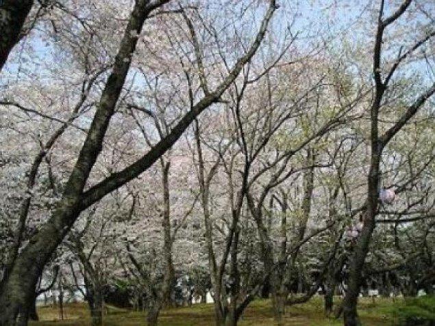 【桜・見ごろ】千葉公園