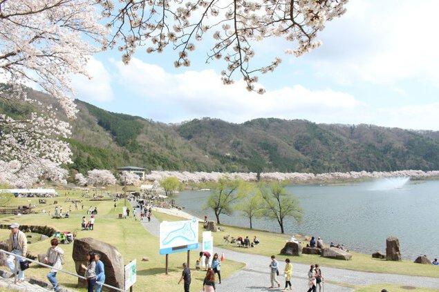 【桜・見ごろ】土師ダム