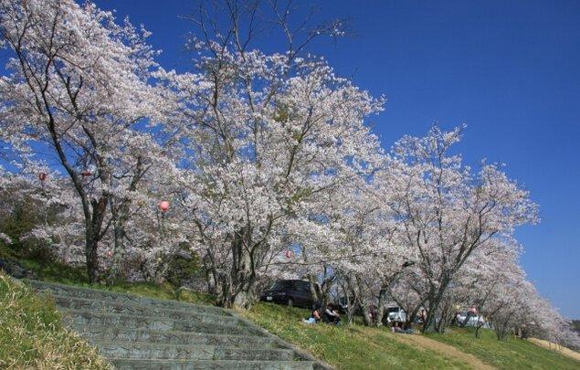 【桜・見ごろ】亀ヶ広桜並木