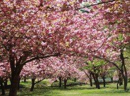 【桜・見ごろ】マキノ高原千本桜