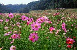 くりはま花の国 コスモスまつり