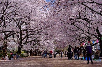 福岡中央公園の桜