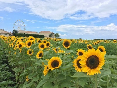 【花・見ごろ】長井海の手公園ソレイユの丘 ヒマワリ