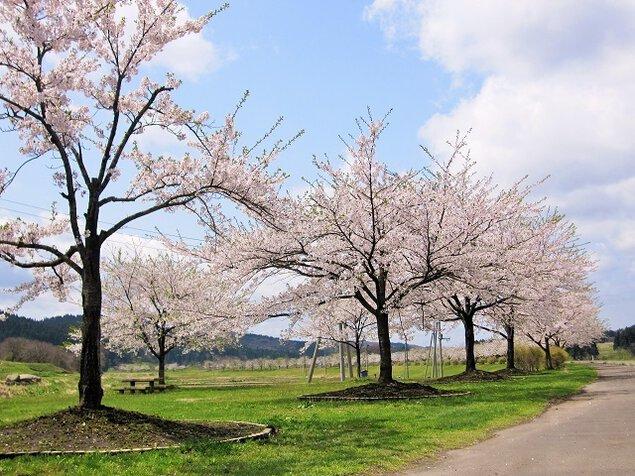 【桜・見ごろ】米代川河川敷(大館市)