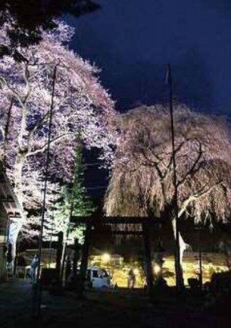 【桜・見ごろ】熊野神社